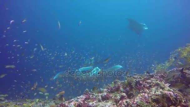 Manta ray relaxovat v pod vodou kanic pruhované školy ryb mořské dno v oceánu.