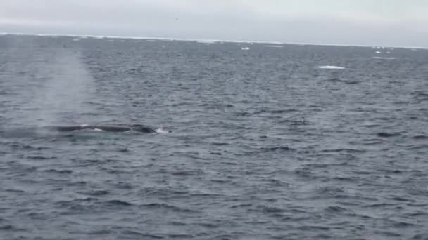 Sperm whale cachalot in ocean of Arctic.