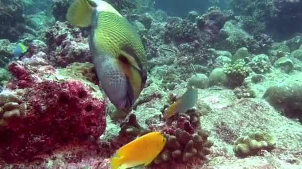 Ajakoshalfélék hal háttéren világos tengerfenék víz alatti Maldív-szigetek.