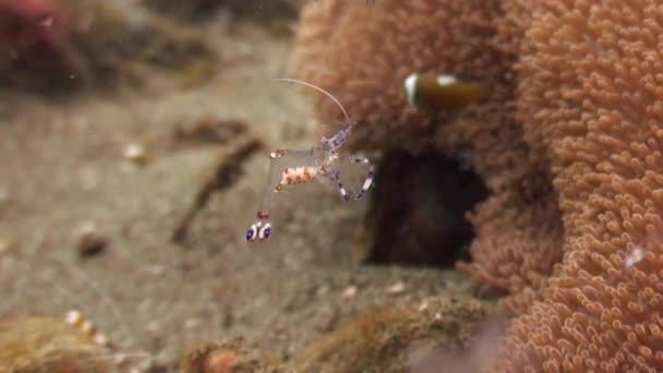 Garnélarák, anemone, a homokos partú, tiszta, kristálytiszta víz, óceán Fülöp-szigetek.