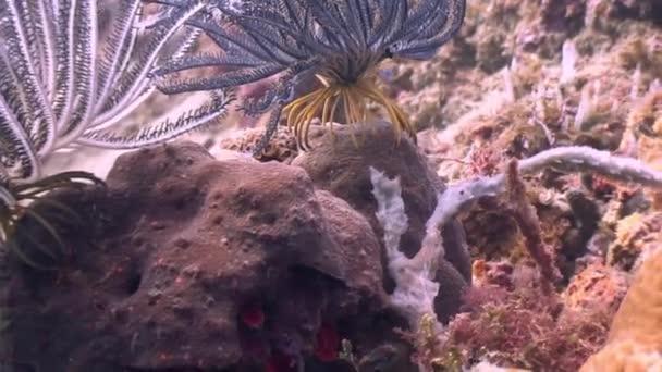Mořská lilie pod vodou v oceánu wildlife Filipíny.