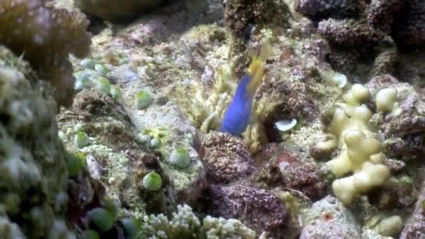 Modrá zajímavé ryby pod vodou v oceánu wildlife Filipíny.