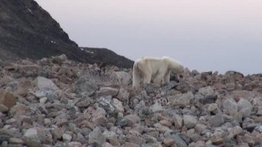 White polar bear on rocky shore in desolate of ice tundra of Svalbard.