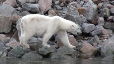 White polar bear walking on snow in desolate ice of tundra in Svalbard.