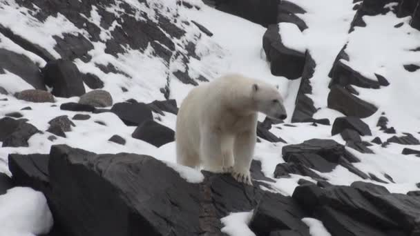 Polar bear go in search of food in Nordic badlands of Spitsbergen.