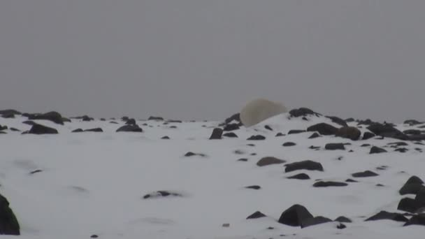 White polar bear on desolate ice of tundra in Svalbard.