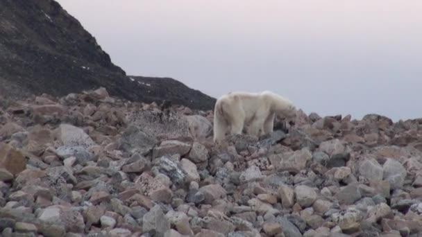 White polar bear on rocky shore in desolate of ice tundra of Svalbard.