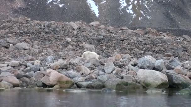 Polar bear go on rocky shore in desolate ice of tundra in Svalbard.