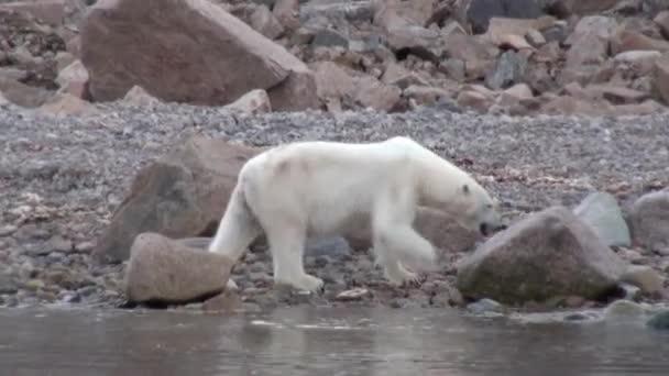 Sea bear go on rocky shore in desolate ice of tundra in Svalbard.