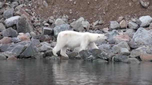 Polar bear go on rocky shore in desolate ice of tundra in Svalbard.