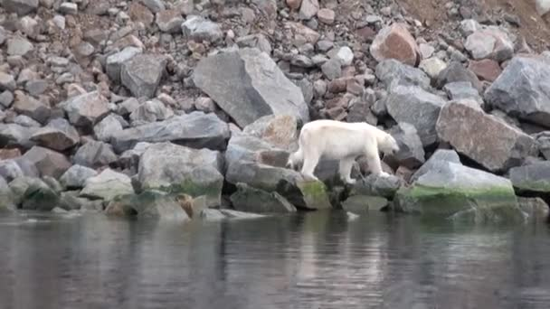 White sea bear is on rocky shore in deserted of ice tundra of Svalbard.