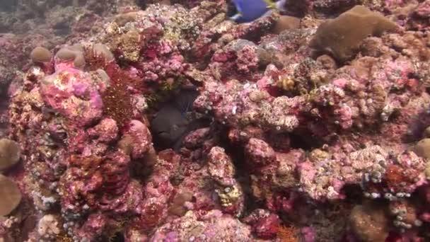 Kopf der schwarzen Muräne auf Hintergrund Korallen unter Wasser im Meer der Malediven.