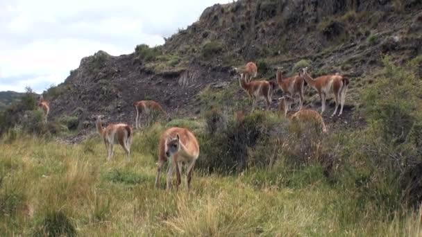 Lama guanako exotických savců divoké zvíře v Andách Patagonie.