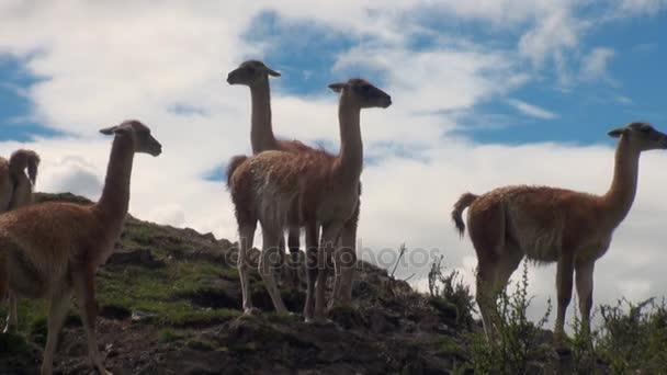 Guanaco exotic mammal wild animal in Andes mountains of Patagonia.
