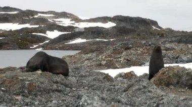 Seals on rock snow coastline in ocean of Antarctica.