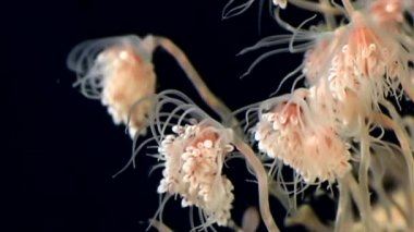Tubulariae bell Hydroid jellyfish underwater on black background of White Sea.
