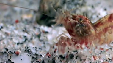 Red shrimp masked in search of food underwater close up of White Sea Russia.