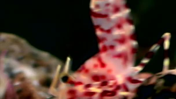 Červené krevety maskovány při hledání potravin pod vodou mořské dno z Bílého moře Rusko.