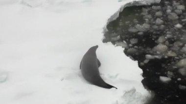 Seal on snow coastline in ocean of Antarctica.