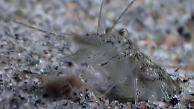 Glass shrimp masked in search of food underwater seabed of White Sea Russia.