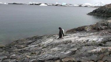 Penguins birds on snow desert coastline in ocean of Antarctica.