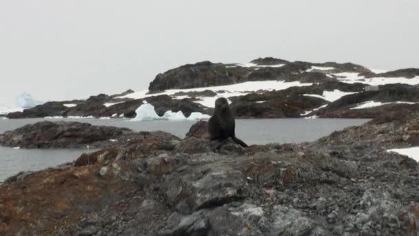 Těsnění na skále sněhu pobřeží v oceánu Antarktidy.