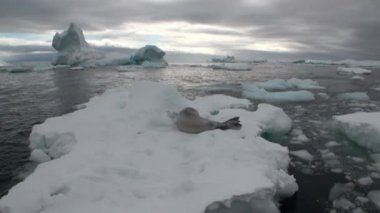 Seal on ice movement and snow in ocean of Antarctica.