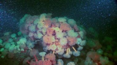 White fluffy metridium underwater on seabed of White Sea.