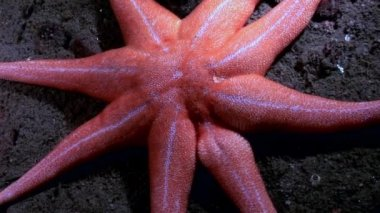 Starfish red color underwater on seabed of White Sea.