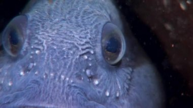 Lancet fish catfish close up in search of food underwater of White Sea.