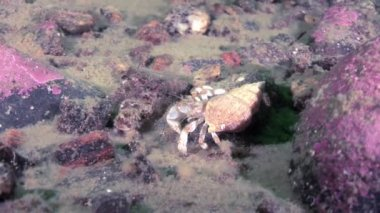 Cancer hermit crab underwater in search of food on seabed of White Sea.