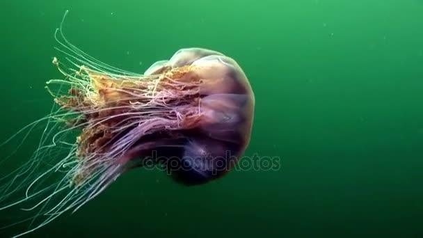 Excepcional Medusa água-viva debaixo d'água no fundo verde do mar branco  EF82