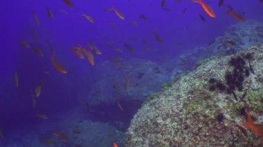 Hammerhead shark in school of fish on underwater seabed of natural sea aquarium.