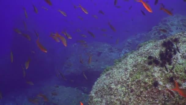 Žralok kladivoun v hejno ryb na podmořské dno přírodní mořské akvárium.