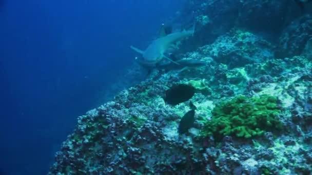 Weißspitzenriffhaie schwärmen auf dem Unterwasserboden eines natürlichen Aquariums.