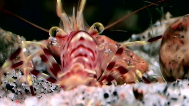 Červené krevety maskovány při hledání potravy pod vodou zblízka z Bílého moře Rusko.