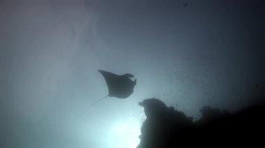 Manta ray and remora fish underwater background of reflection sun in Maldives.