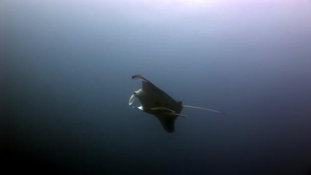 Manta ray a remora ryb pod vodou pozadí odraz slunce v Maledivy.