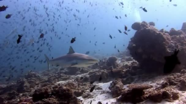 Haie und Thunfisch unter Wasser vor dem Hintergrund von Schulfischen im Meeresboden.