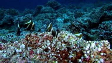 Ascidia underwater on background of seabed in Maldives.