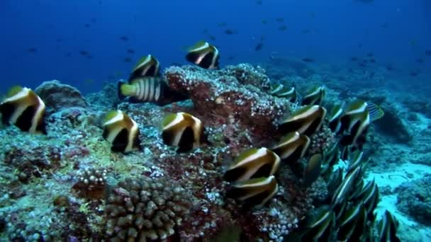 Suggest Info on striped butterfly fish assured, what