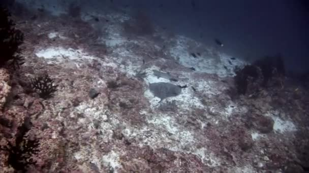 Sharks underwater and stingray manta on background of seabed.