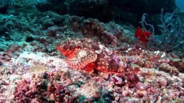 Lionfish Scorpionfish poisonous bright red underwater on seabed in Maldives.