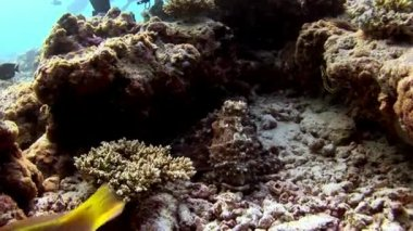 Octopus poulpe masked underwater on background of amazing seabed in Maldives.