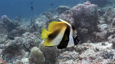 Love couple of butterfly fish underwater on background of seabed in Maldives.