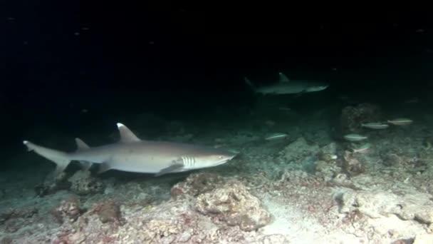 Žralok pod vodou na pozadí úžasné korálové dno Maledivy.