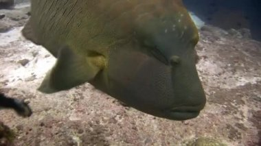 Napoleon fish wrasse and divers underwater on seabed.