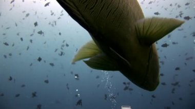 Napoleon fish wrasse underwater on background of school in seabed.