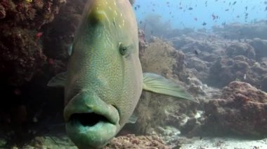 Napoleon fish wrasse closeup macro video underwater on seabed.