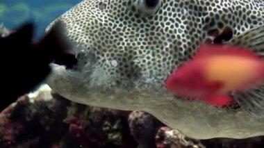Giant pufferfish boxfish macro video closeup underwater seabed in Maldives.